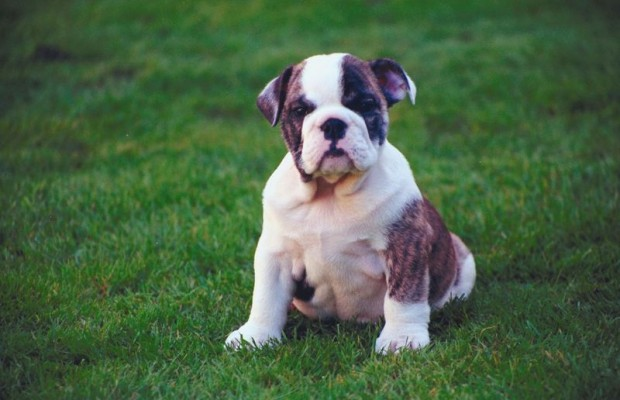 Huckleberry Wins Beautiful Bulldog Contest