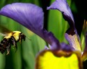 A bumble bee flies toward a flower Tuesday, May 15, 2012 in Springfield, Ill.